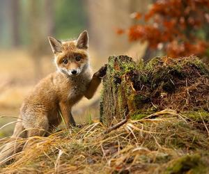 animals, beauty, and fox image