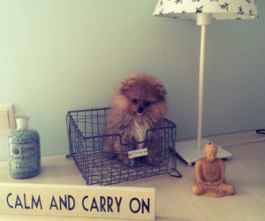 pomeranian, love, and puppy image