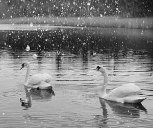 Swan, snow, and animal image