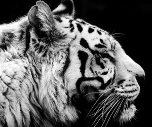 animal, tiger, and black image