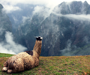 beautiful, cool, and llama image