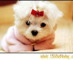 puppy, maltese, and cute image
