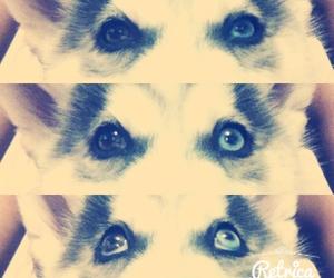 cute dog, eye, and husky siberian image