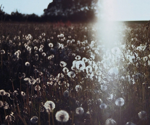 dandelion and field image