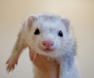 animal, cute, and ferret image