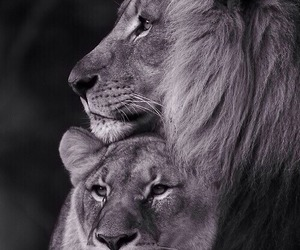 big cats, wild, and cute image