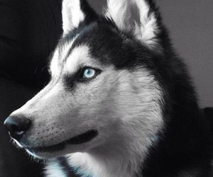 dog, siberian husky, and cute image