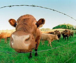 cow, animal, and fence image