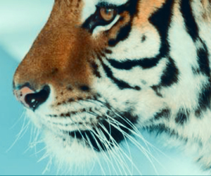hipster and tiger image