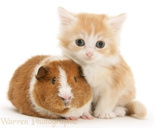cats and guinea pig image