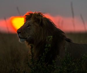 animal, lion, and africa image
