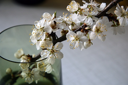 apple blossoms, flowers, and grey image
