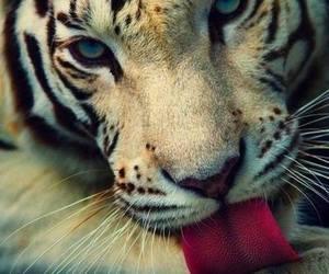 tiger, animal, and wild image