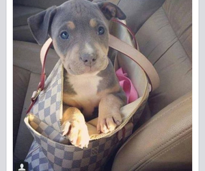 Louis Vuitton, so cute, and pittbull image