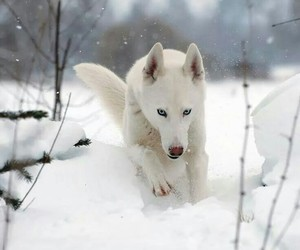 husky, puppy, and white husky image