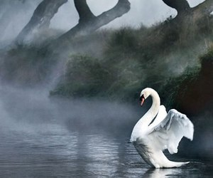 beauty, nature, and Swan image