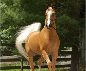 horse and palomino image