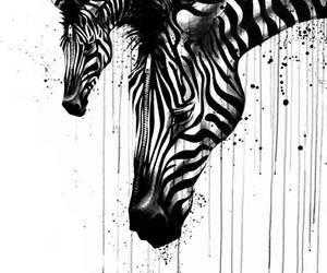 zebra and black and white image