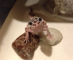 :), frog, and leopard gecko image