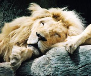 animal, lion, and sleeping image