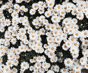 daisies and flowers image