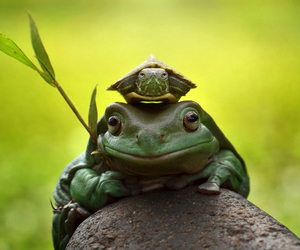 adorable, turtle, and amphibian image