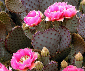 cactus, desert flower, and flower image