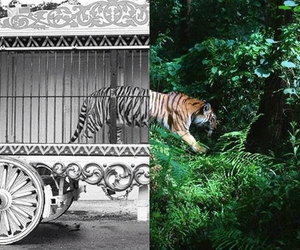 tiger, freedom, and animal image