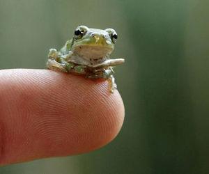 animal, frog, and little image