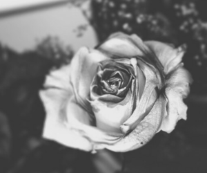 rose, black and white, and flowers image