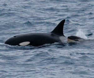 animals, orca, and pretty image