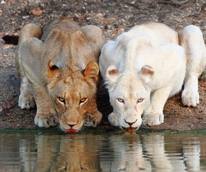 drinking, water, and lions image