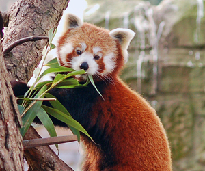 red and panda image