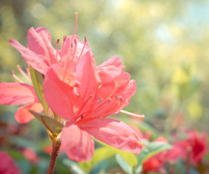 azalea, green, and bloom image
