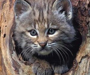 felidae image