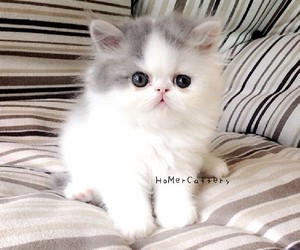 cute kittens, cute cats, and persian cats image