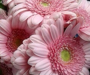 flower, pink, and gerbera. image