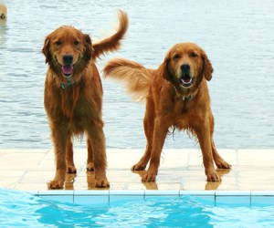 dogs, golden retriever, and pool image