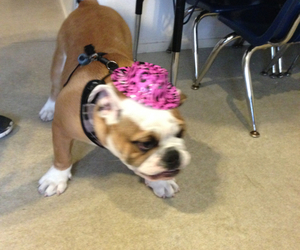 bulldog, hat, and dog image