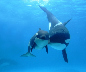 ocean, whale, and orca image