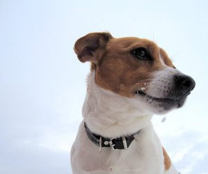 dog, jack russel, and jack russel terrier image