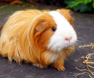 brown, guinea pig, and white image