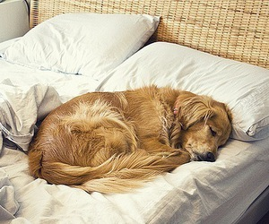 dog, bed, and golden retriever image