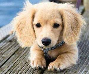dog, sweet, and golden retriever image
