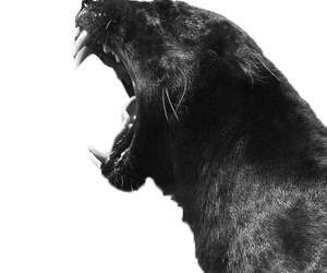 animal, black and white, and black image
