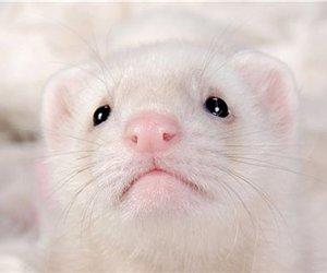 cute animals and ferret image