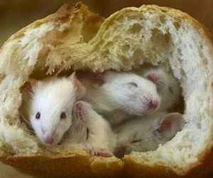 cute animals, rat, and rodent image