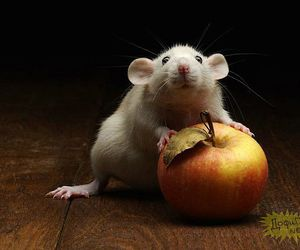 apple, rat, and cute image