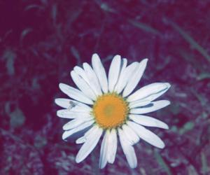 daisy, filter, and flower image