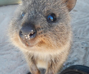 quokka and cute image